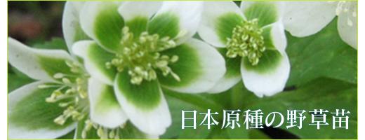 日本原種の野草販売ワイルドプランツ・エルブ